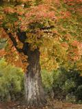Fall Maple Fever I