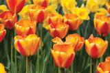 Tulip March I