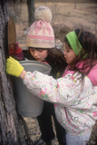 Young Girls Checking Sap Buckets on a Maple Tree  Maine