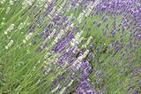 Flowing Lavender II
