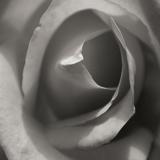 Single Rose Square