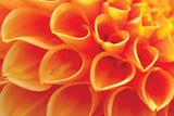 Orange Funnel Dahlia
