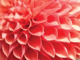 Coral Funnel Dahlia Papier Photo par Dana Styber