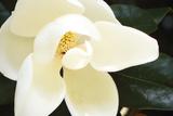 Southern Magnolia I