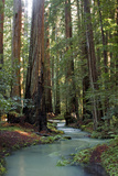 Redwood Forest III