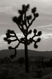 Yucca Brevifolia I