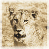 Young Africa Lion