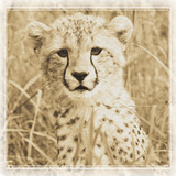 Young Africa Cheetah