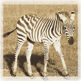 Young Africa Zebra