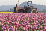 Tractor and Tulips II