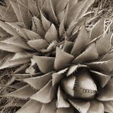 Desert Plants III