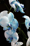 Blue Moth Orchids II