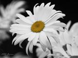 Daisy 2 B&W