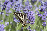 Lavender and Butterfly II