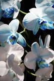 Blue Moth Orchids I
