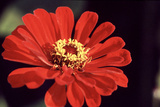 Red Zinnia II