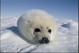 A  Newborn Harp Seal Pup in a Fat White Coat  Stares Directly At the Camera
