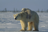 Polar Bear Cub Riding On Its Mother's Back