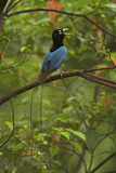 A Male Blue Bird of Paradise Calling