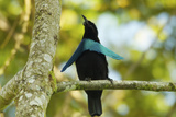 An Adult Male Superb Bird of Paradise Perches On Tree Branch
