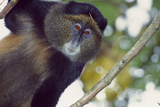A Golden Monkey  Cercopithecus Mitis Kandti  in a Tree  Observing