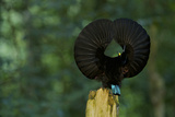 A Male Victoria's Riflebird On Display Perch Tries to Lure a Female with His Spread Wings Display