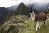The Ruins At Machu Picchu and a Curious Llama