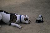 A Bulldog and a Striped Skunk (Mephitis Mephitit) Meet Eye to Eye
