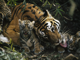 An Indian Tigress Licks One of Her Tiny New Cubs