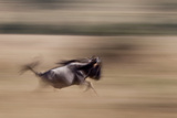A Wildebeest Running in the Masai Mara