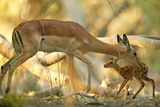 A Mother Antelope Grooming Her Baby