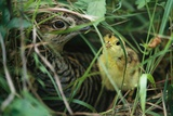 An Attwater's Prairie Chicken and Her Chick