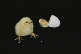 A 21-day-old Egg Hatches