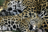 An Adult Jaguar and Cub Relax