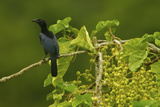 A Crinkle Collared Perches in a Fruiting Fig Tree
