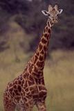 Portrait of Male Massai Giraffe  Giraffa Camelopardalis Teppelskirchi