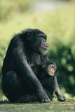 A Mother Chimpanzee (captive) with Its Infant