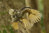 A Young Male Paradise Riflebird Performs a Practice Display