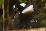 A Male Carola's Parotia At His Display Court