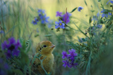 An Attwater's Prairie Chick Surrounded By Wildflowers
