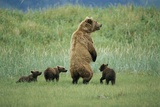 An Alaskan Brown Bear Stands Up to Look Out for Any Danger As She Protects Her Three Cubs