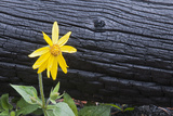 Burnt Trees and Arnica Flower in a Year-old Burn Area