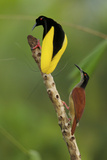 A Male Twelve Wired Bird of Paradise Brushes the Female with Feathers
