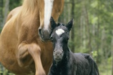 Wild Horse with a Newborn Foal