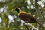 A Young Male Red Bird of Paradise Perches in Mountain Forest