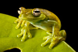 A Treefrog  Hyloscirtus Sp  On a Leaf in Colombia's Choco Department