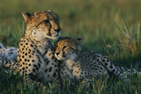 A Female African Cheetah (Acinonyx Jubatus Jubatus) and Her Cub