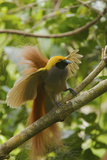A Goldie's Bird of Paradise Adult Male Performing His Courtship Display