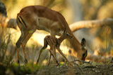 A Newborn Impala  Aepycerios Melampus  and Mother At Birth Site