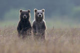 Two Brown Bear Spring Cubs Standing Side-by-side in Curiosity Papier Photo par Barrett Hedges